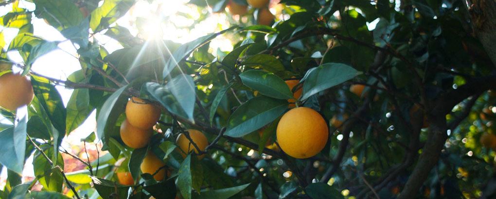 pianta di clementine usata per la raccolta dei frutti che vengono usati nei liquori calabro